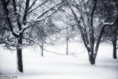 Spooky Trees - Centennial Park, Oak Lawn 2015 Blizzard (RickDrew) Tags: park trees winter white snow chicago cold tree centennial illinois deep fluffy il snowing blizzard puffy feb1 oaklawn 2015 112015