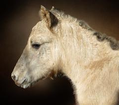 IMG_2199 baby konijk (pinktigger) Tags: portrait horse baby nature animal babyhorse fagagna oasideiquadris feagne konijk babykonijk