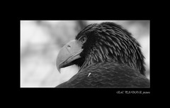 SERIE BW ZOOPARC DE BEAUVAL (thierrymuller) Tags: animal animaux animals zoo zoodebeauval thierrymuller tamron france french nikonpassion nature nikon bw noiretblanc noirblanc rapace paptor