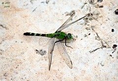 Eastern Pondhawk (f) (zeesstof) Tags: nature female insect pond texas dragonfly naturewalk pondhawk thewoodlands easternpondhawk erythemissimplicicollis commonpondhawk sterlingridge zeesstof containmentpond