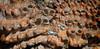 Neoporteria subgibbosa (Umadeave) Tags: chile cactus montagne plante flora chili desert flore eriosyce subgibbosa neoporteria