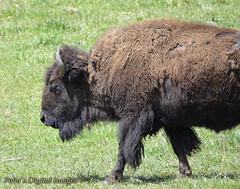Colorado Buffalo (penadigitalimages) Tags: buffalo colorado sigma crop only nikond7000 peasdigitalimages 150600c