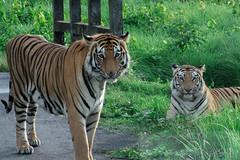 MujtahidHasanSajid_03_01675485504.JPG (M.H Sajid) Tags: nature wildlife tiger bangladesh furious royalbengaltiger
