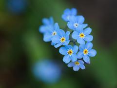 True blue (A_Peach) Tags: blue plant flower spring dof bokeh pflanze forgetmenot frhling vintagelens pancolar vergismeinnicht czjpancolarf1850mm panasoniclumixg5