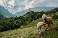 horses (Rose-LlyodeLays) Tags: green natura blonde cavalli