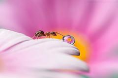Sunrise (Steve W M) Tags: pink flower macro insect islands ant drop dew channel guernseymacro