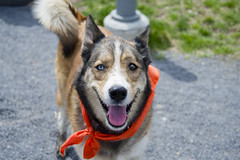 Wilma A190452 (7) (Ottawa Humane Society) Tags: dog dogs animal outside photography spring mix husky outdoor shepherd ottawa german ottawahumanesociety animalshelterphotography