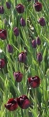 tulpen (willemsknol) Tags: flowers tulpe willemsknol