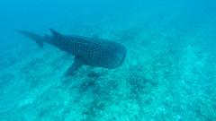 Whaleshark 2 (Aliuros) Tags: fish shark whaleshark fisk haj hvalhaj