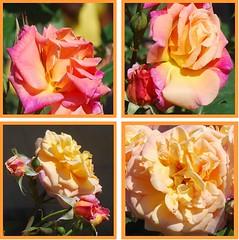 Christus ist mein getreuer Hirt und Herre (amras_de) Tags: flower fleur rose flor rosa roos blomma rosen gl blume fiore blte blomst rs rozen virg lore bloem blm iek floro roser kwiat flos ciuri kvet arrosa kukka rozes cvijet vrtnica flouer blth cvet zieds ruusut is trandafir floare rza rua rzsa blome rozo iedas roe rue rosslktet