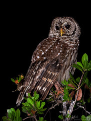 Barred Owl (Nick Scobel) Tags: bird florida sigma raptor owl prey barred strix varia