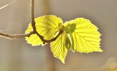 just leaves....................explored. (Suzie Noble) Tags: tree squirrel hazelnut hazelnuts hazelnuttree strathglass justleaves macromondays struy