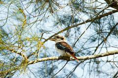 IMG_0381 (gsreejith) Tags: bird birds laughing kookaburra