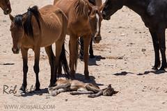 Wild Horses of Namibia (robsall) Tags: africa vacation canon mammal 500mm namibia canoneos wildhorses karas wildhorse 2015 equuscaballus garub canon500mmf4 ferelhorse 7dmarkii canon7d2 canon7dmarkii ausnamibia canon7dmark2 namibdeserthorse wildhorsesofaus robsallphotography 7dm2 7dmark2 7dmii canoneos7dmark2 canon7dm2 canoneos7dm2 canon500mmf4lii canon500mmf4lisiiusm canon500mmf4ii garubwaterhole namibiawildhorsesfoundation