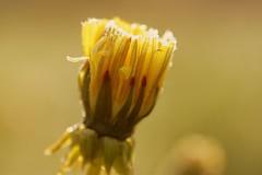 *** (pszcz9) Tags: flower nature closeup spring bokeh hoarfrost sony poland polska a77 wiosna przyroda kwiat beautifulearth szron zblienie