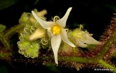 Solanaceae (Ecuador Megadiverso) Tags: flower ecuador solanaceae puyo andreaskay