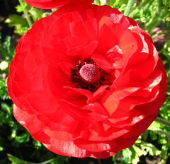 red ranunculus (lisafree54) Tags: red plant flower nature free ranunculus cco freephotos