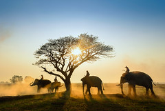 The elephant home (SaravutWhanset) Tags: travel sunset summer sun sunlight holiday elephant animal sunrise wow asian thailand asia action smoke traditional explore airline thai brilliant ayuttaya afarica amezing exploer