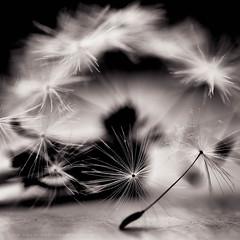 Anything goes (w.mekwi photography) Tags: blackandwhite macro closeup dof dandelion squareformat anythinggoes macromonday nikond800 wmekwiphotography