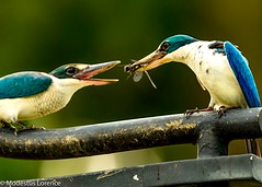 Feeding time [Explored!!] (Modestus Lorence) Tags: birds canon singapore feeding kingfisher dslr canon1dx 500mmf4isii