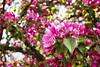 Red Apple Blossom, Lohja 5