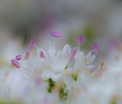 Misty Mood. (Omygodtom) Tags: mist flower macro fog digital outdoors nikon soft dof cloudy bokeh diamond puffy tamron90mm d7100