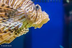 Lion Fish (Jacob Scott in Oklahoma) Tags: sea fish nature zoo wildlife lion sealife aquatic lionfish poisonous