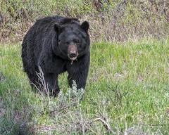 Black Bear (joycarl) Tags: bear yellowstone blackbear towerjunction