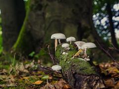 Pilze (1 von 1) (ostfriese77) Tags: nature mushroom forest nikon natur ostfriesland pilze holz wald d5100
