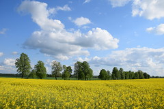 landscape with canola (JoannaRB2009) Tags: popie dzkie lodzkie polska poland sky blue clouds nature landscape view canola fields yellow countryside spring trees alley avenue