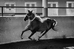 Al galope III (Miquel Gomis) Tags: horses caballo pentax animales monta doma k5iis da50mm cumpleaosluca2016