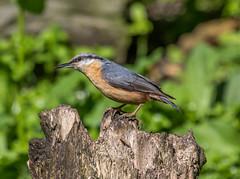 Nuthatch-1 (worlknut) Tags: birds feeding wildlife flash nuthatch pennington songbirds