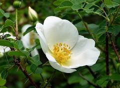 2016-058-23 Traisnel (22)wild rose (april-mo) Tags: white flower fleur rose whiteflower wildrose wildflower glantine fleursauvage