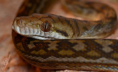 Scrub Python (SGreaves90) Tags: morelia reptile wildlife australian australia python snakes scrub herp herpetology amethistina