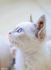 Blue Eyes White Cat (Kokuj-King Hamza (BOUNSIF Hamza)) Tags: blue cat 35mm eyes nikon d3100