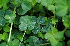 Trifoglio con rugiada (cinzia bertodatto) Tags: natura fiori rugiada verd trifoglio