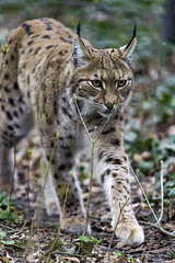 Lynx walking in the forest II (Tambako the Jaguar) Tags: walking forest tree portrait coming european lynx wild cat mulhouse zoo france alsace nikon d4