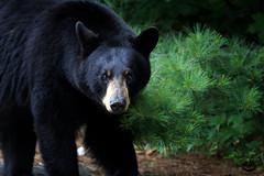 The Visitor (Megan Lorenz) Tags: bear wild ontario canada nature animal mammal wildlife blackbear wildanimals mlorenz meganlorenz