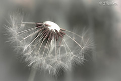 If today were the last day of my life, would I do what I'm about to do? (beth3974) Tags: macro weed dandelion