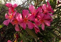. / . / Nerium oleander L. (janeric2014) Tags: neriumoleander oleander