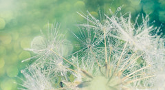 Effervescence (charhedman - off for a couple of days) Tags: bokeh dandelion raindrops slidersunday