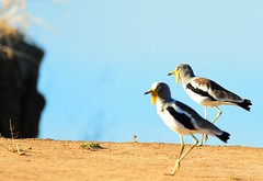 Selective depth of field... (Pim Stouten) Tags: bird birds waterbird safari lapwing oiseau plover zambia vogel gamedrive southluangwa wasservogel vol watervogel whiteheadedlapwing vanellusalbiceps whitecrownedplover witkopkiewiet whitecrownedlapwing whiteheadedplover witkruinkieviet