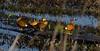 IMG_0464 (daviddouell) Tags: ducks teals