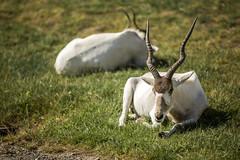 Oryx (flutalute) Tags: oryx herbivore corne arabie