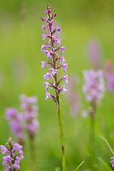 Elegance (smir_001 (on/off)) Tags: uk pink summer england plants flower english nature june chalk flora european purple orchids britain outdoor meadow noarhill hampshire orchidaceae naturereserve fragrant british wildflowers grassland wildorchids gymnadeniaconopsea gymnadenia flowermeadow britishorchids conopsea canoneos7d easthampshire commonfragrantorchid fragrantorchids ukwildlifetrusts theorchidfamily hampshirewildlifetrusts