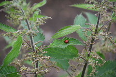 Little Ladybird Lost (simmonsphotography) Tags: plant green leaf dew tiny ladybird murky