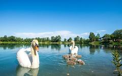 swan's family (16) (Vlado Ferenčić) Tags: birds animals swan lakes croatia swans animalplanet hrvatska nikkor173528 nikond600 zaprešić swansfamily lakezajarki