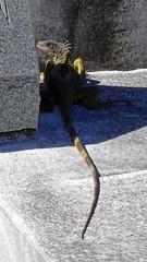 Iguana at Key West Cemetery, FL (SomePhotosTakenByMe) Tags: city vacation friedhof usa holiday cemetery grave graveyard animal america keys island unitedstates florida outdoor urlaub tombstone lizard insel iguana stadt gravestone keywest grab amerika grabstein floridakeys tier echse leguan keywestcemetery