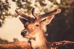 Young Buck (liz stowe) Tags: park ireland sunset dublin nature phoenix golden evening stag wildlife deer bucks