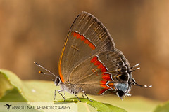 Red-banded Hairstreak - Hodges#4299 (Calycopis cecrops) 20160628_0662.jpg (Abbott Nature Photography) Tags: animals butterfly us unitedstates alabama gordo hexapoda insectainsects arthropodaarthropods lepidopterabutterfliesmoths lycaenidaecoppersblueshairstreaks organismseukaryotes invertebratainvertebrates